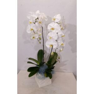 Arrangement of Phalaenopsis Orchid Plants